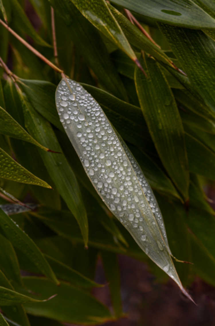 Dew on the leaf of Clavinodum oedogonatum